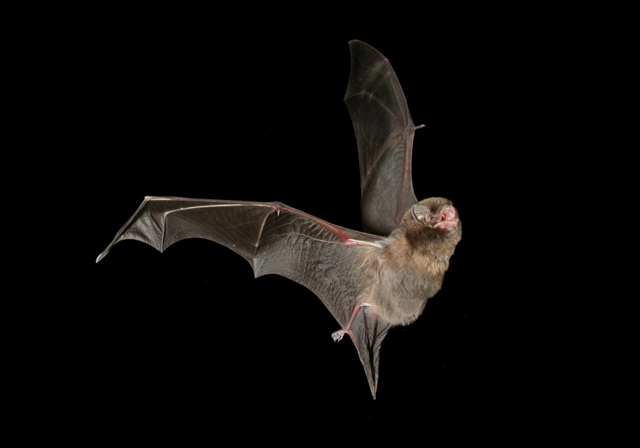 Photo Steve Bourne, Southern bentwing bat